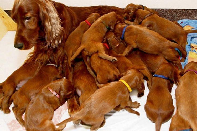 Спаниель с щенками