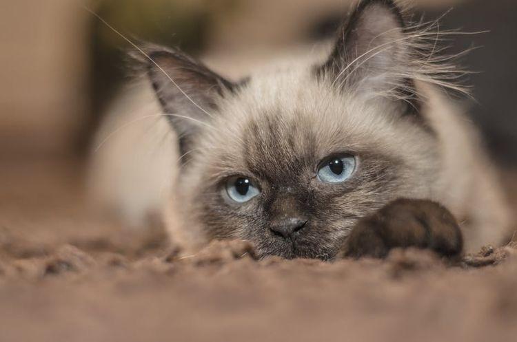 Опухли молочные железы у кошки частые причины способы лечения