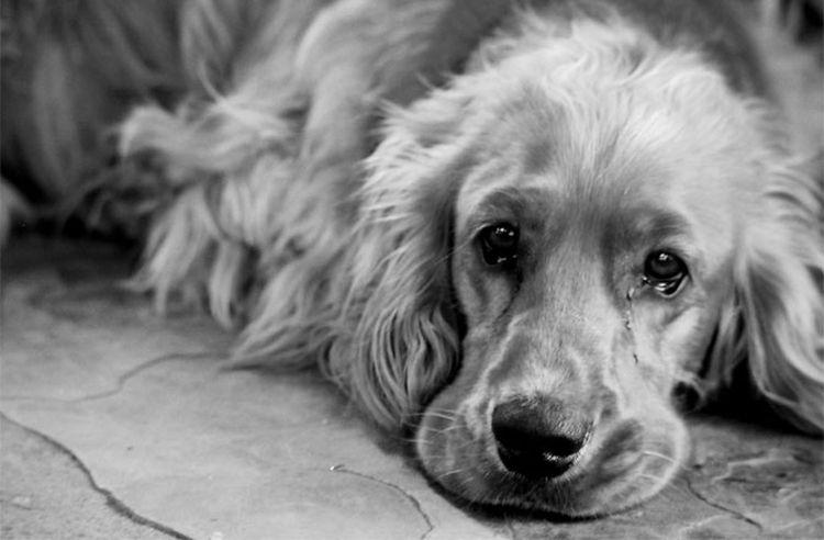 Собака плачет
