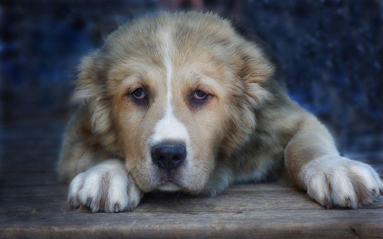 Большая грустная собака