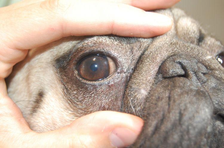 Раздражение роговицы у собаки
