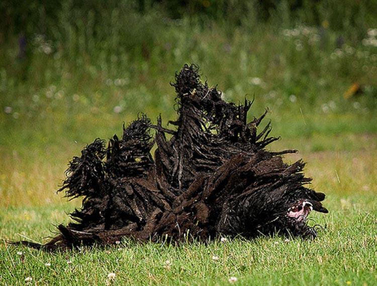 собака пули на траве