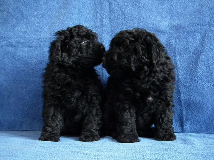 два черных щенка пули
