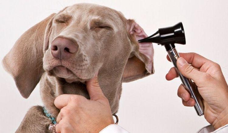 Осмотр уха собаки
