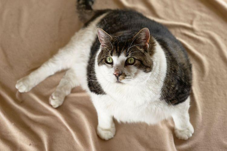 Толстый кот Элвис