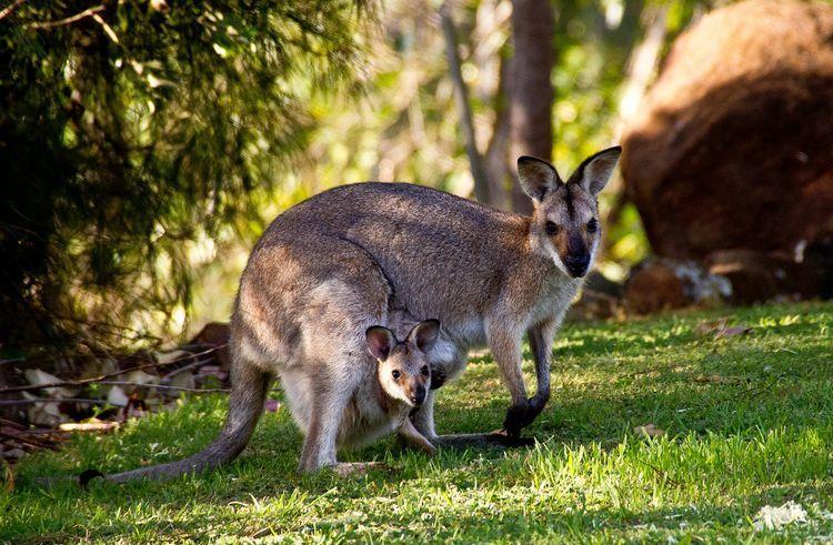 Кенгуру и кенгуренок