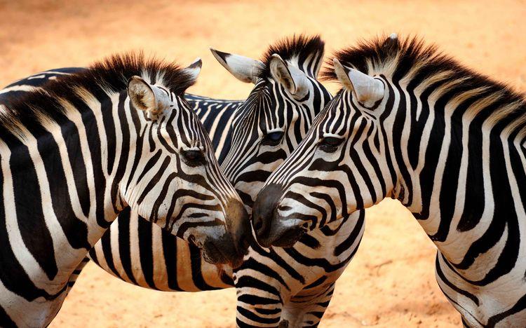 Три зебры