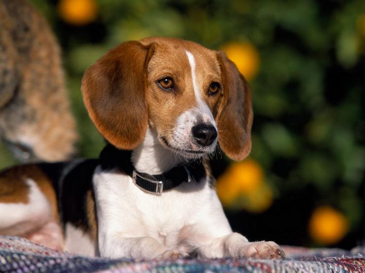 Американский фоксхаунд щенок