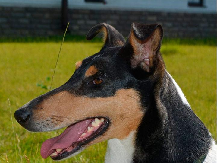Короткошерстный колли порода собак
