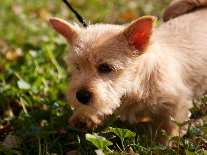 Норвич терьер щенок