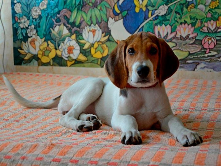 Русская пегая гончая щенок
