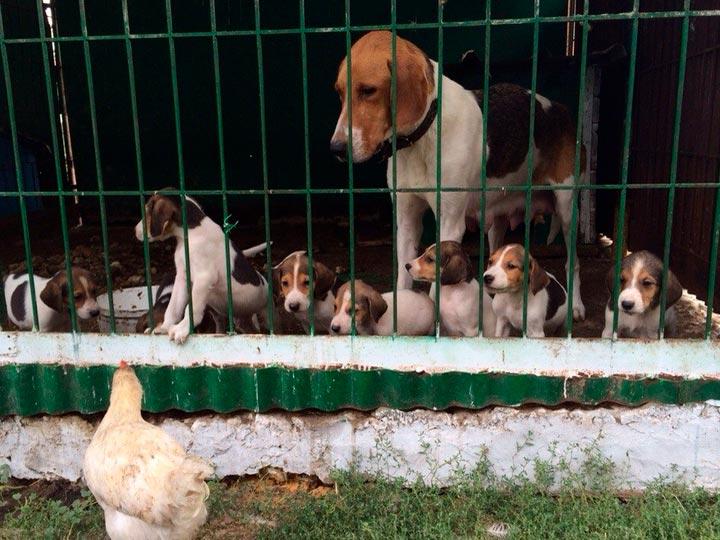Русская пегая гончая со щенками