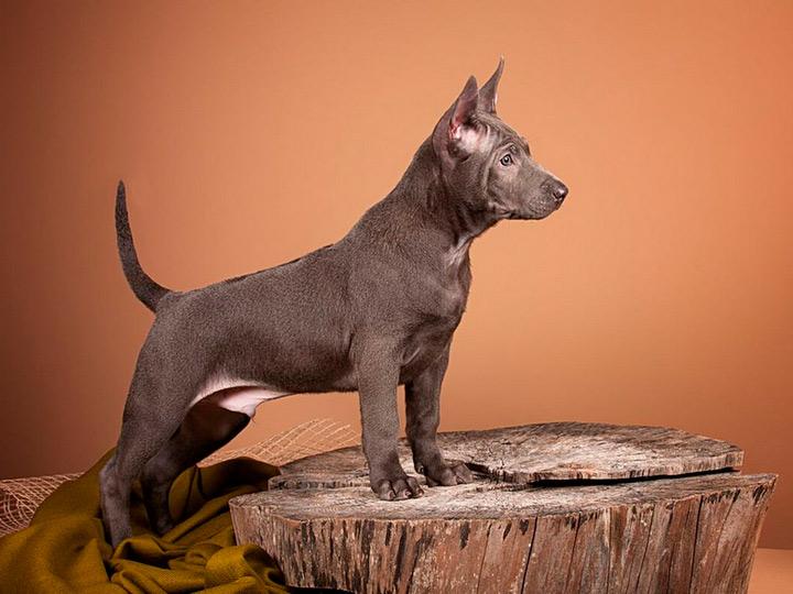 щенок порода Тайский риджбек