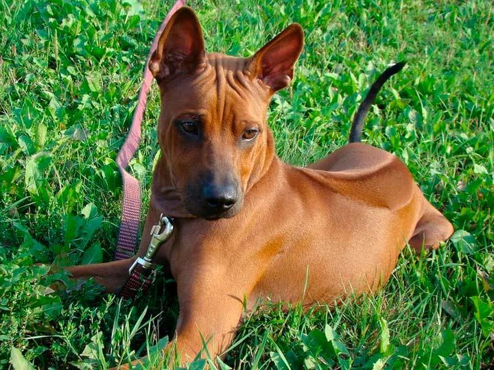рыжий щенок Тайский риджбек