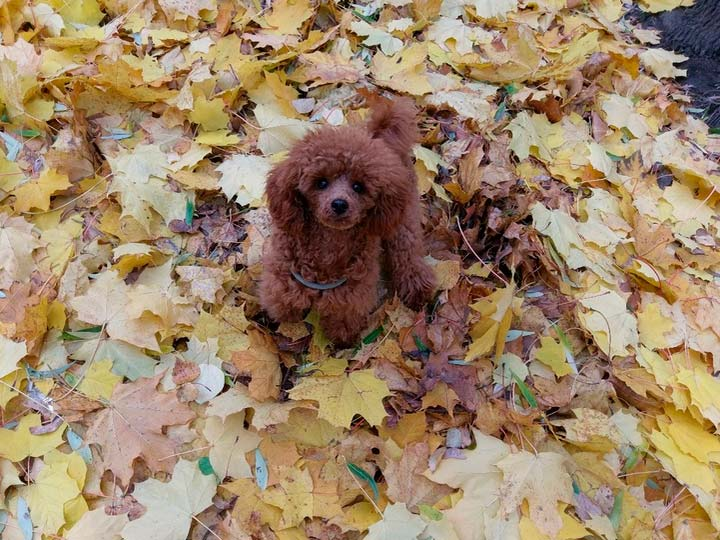 Той пудель в листьях