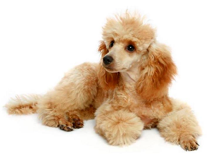 порода собак Той пудель