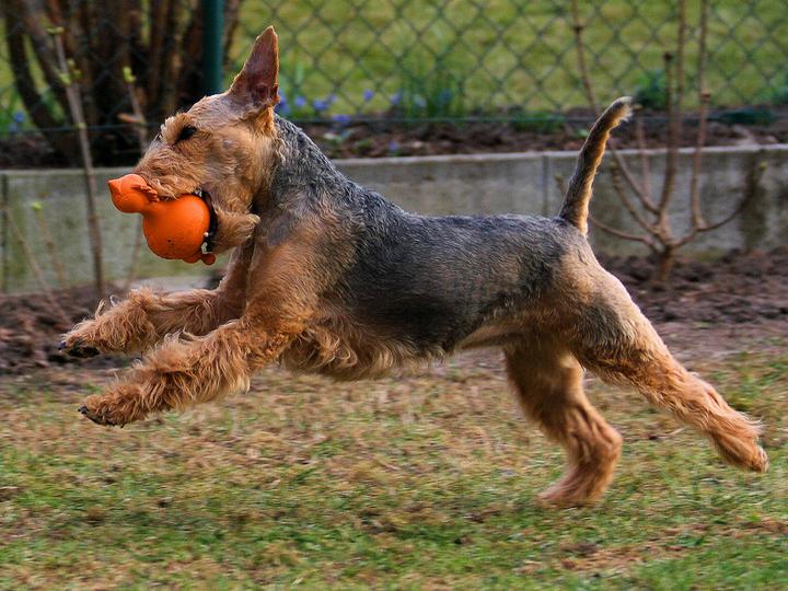 Вельштерьер играет с мячом