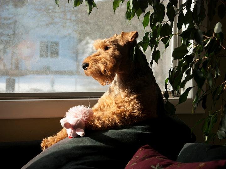 Вельштерьер у окна