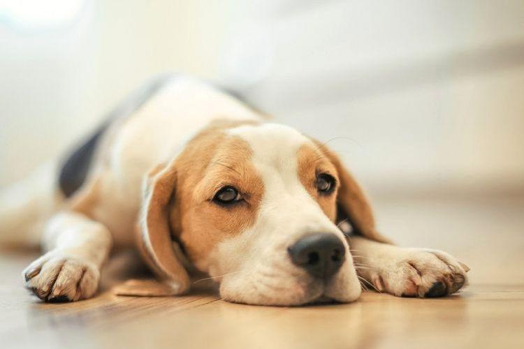 Апатия у собаки