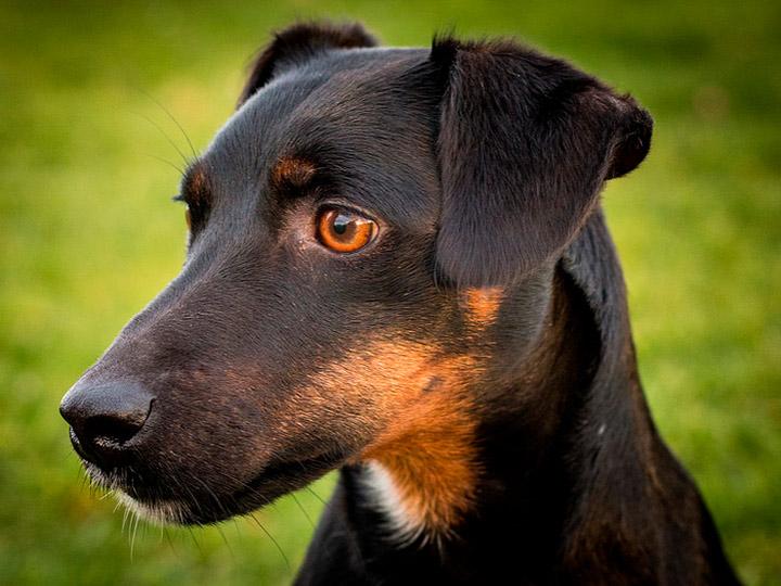Немецкий ягдтерьер собака