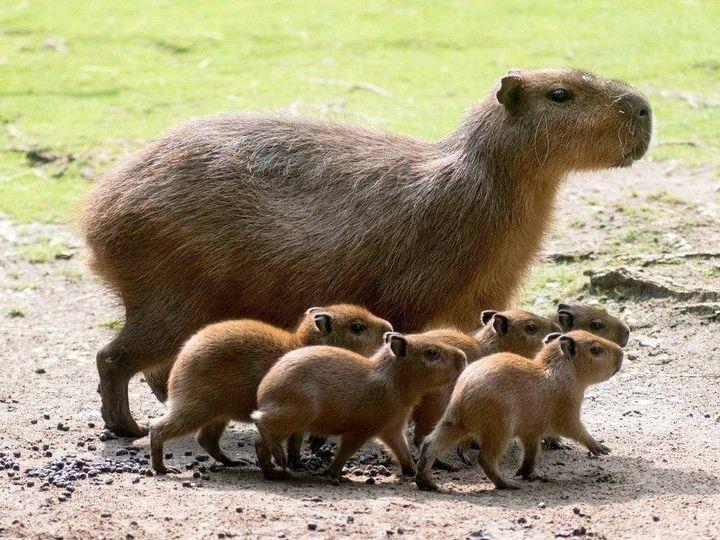 Капибара с детенышами