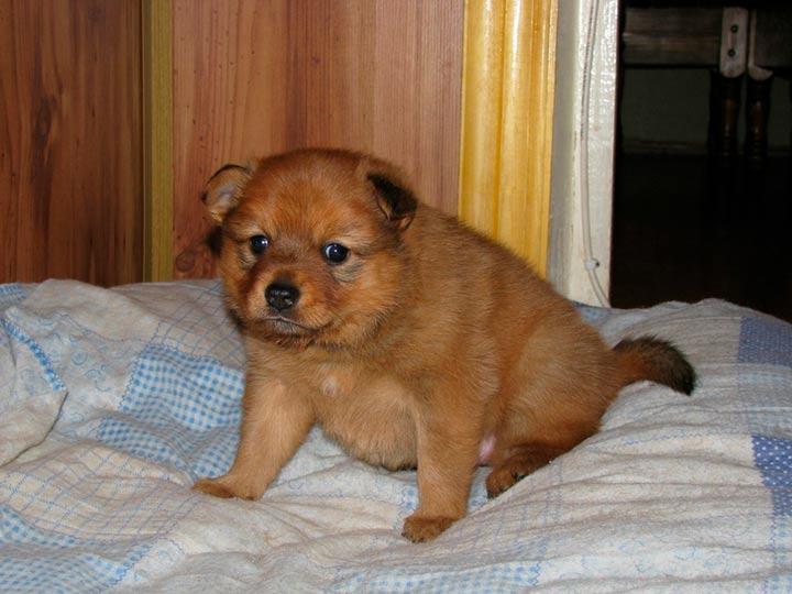 Карело-финская лайка щенок