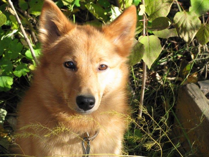 Карело-финская лайка собака