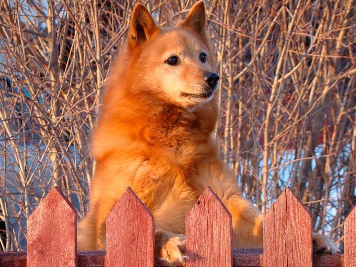 Карело-финская лайка за забором