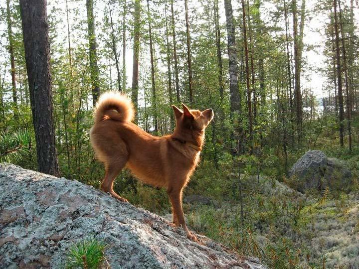 Карело-финская лайка на камне