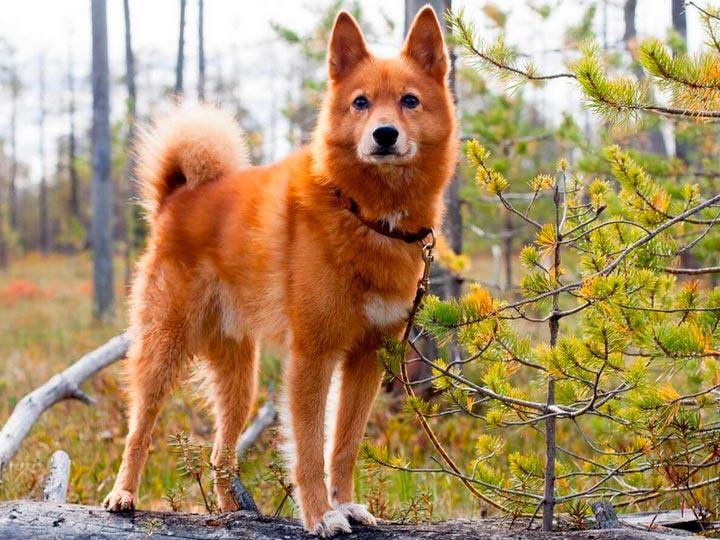 Карело-финская лайка порода собак