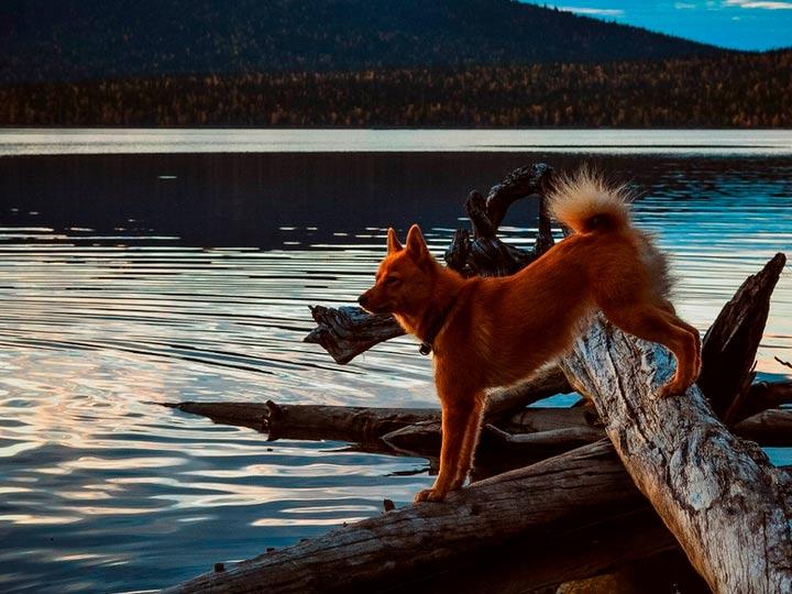 Карело-финская лайка на озере