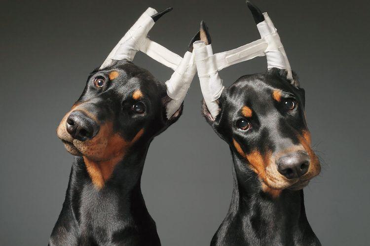 Доберманы с купированными ушами