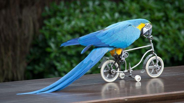 Голубой ара