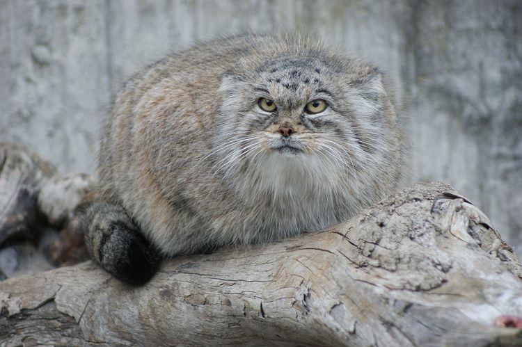 Паласов кот (манул)