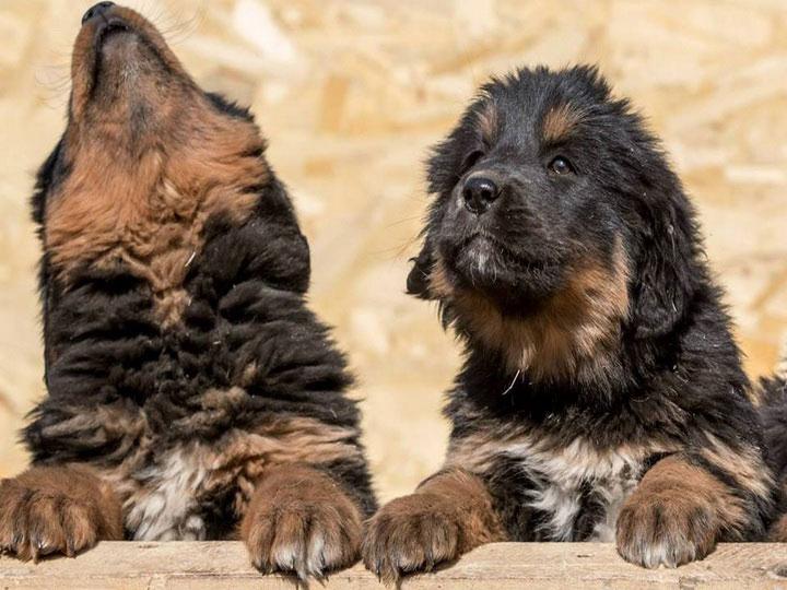 два щенка монгольской овчарки