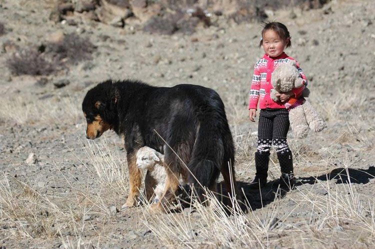 Монгльская овчарка банхар