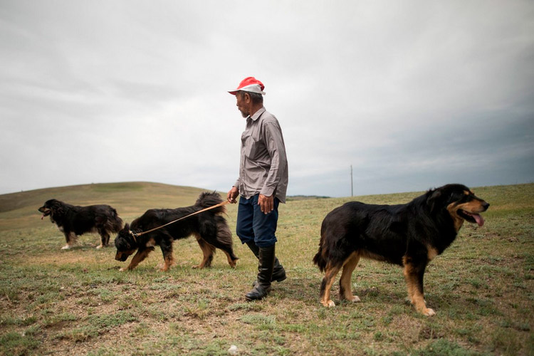 монгольская пастушья собака банхар фото