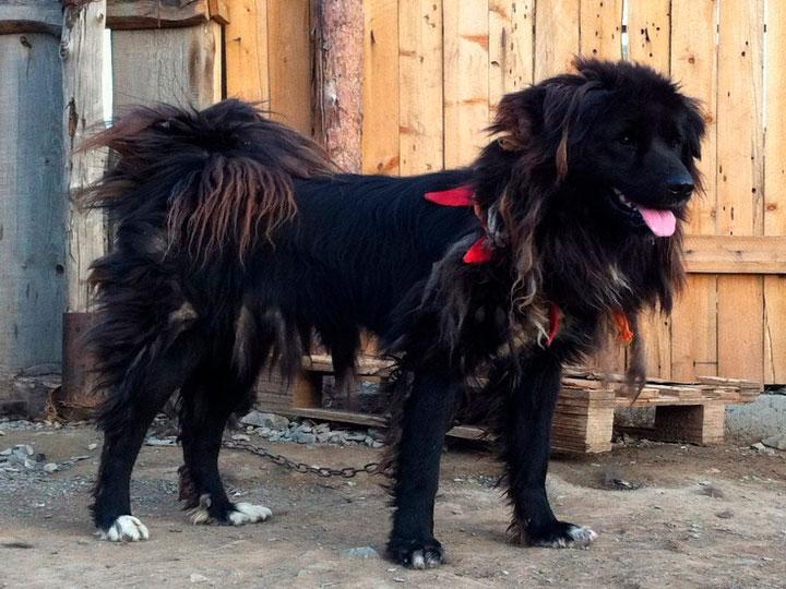 Монгольская овчарка черная