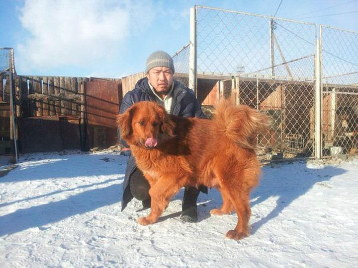 монгольская овчарка рыжая