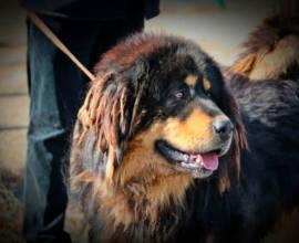 порода собак банхар