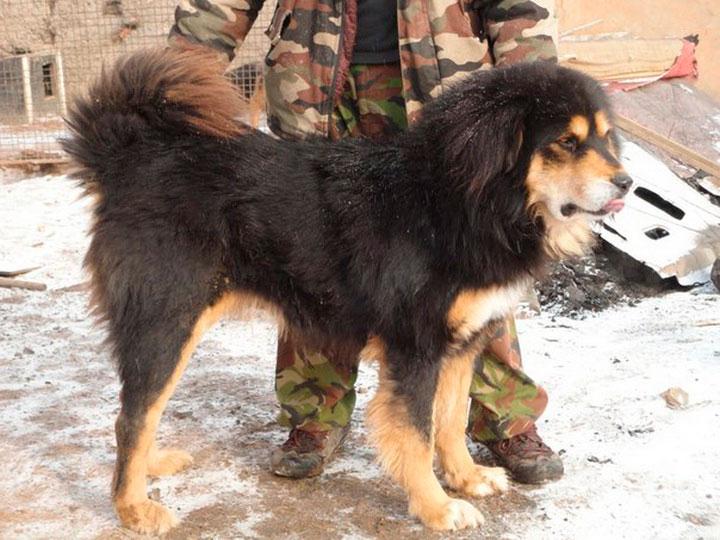 Собака породы банхар