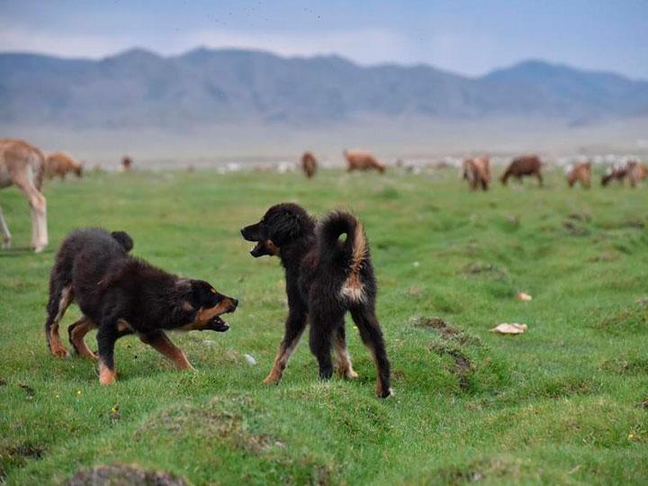два щенка-подростка банхара