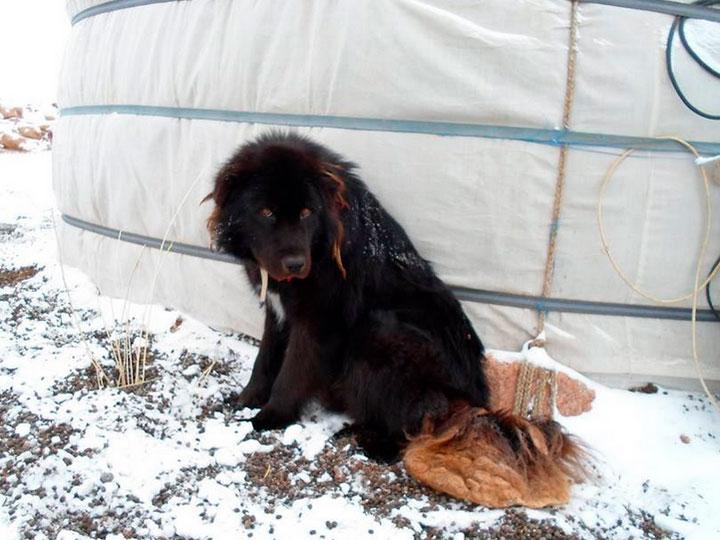 Породасобак Монгольская овчарка