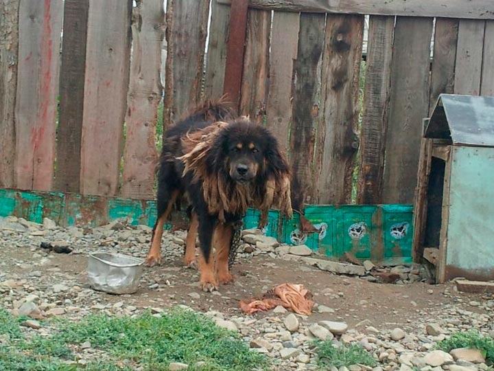 Монгольская пастушья собака бархан