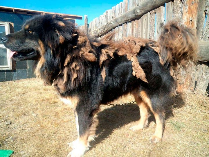 Бурят-монгольский волкодав линяет