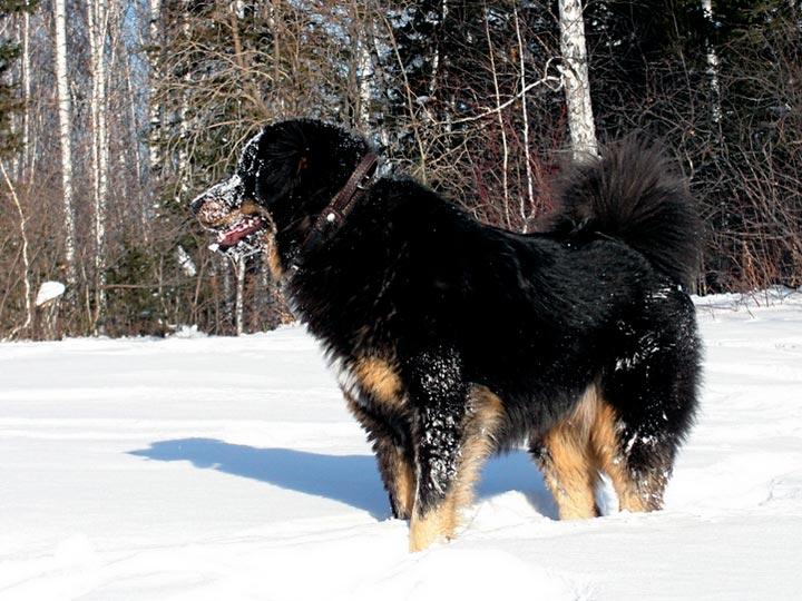 Бурят-монгольский волкодав в снегу