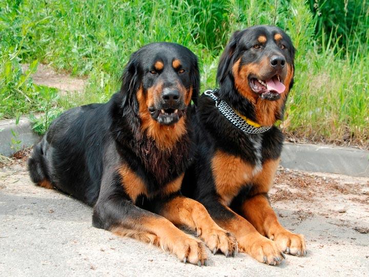 порода Хотошо нохой