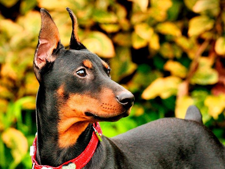 собака породы немецкий стандартный пинчер