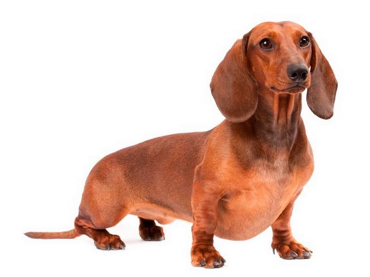 Карликовая такса порода собак