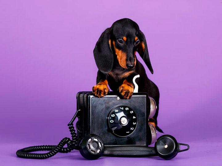 черно-подпалый щенок Карликовой таксы